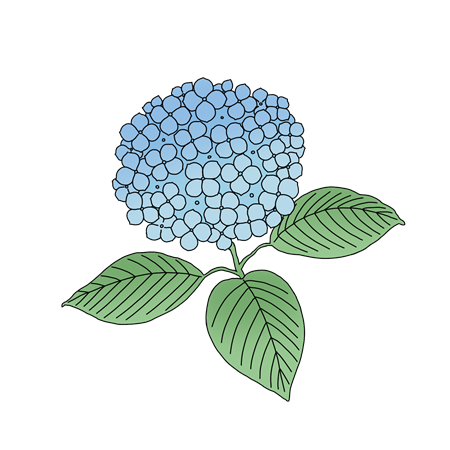 紫陽花のイラスト素材
